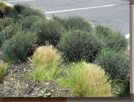 When To Cut Ornamental Grasses Cutting back ornamental grasses gr landscape architect ornamental grasses should not be cut back in late spring or summer when the plants are vulnerable to heat another common error is to leave large rounded workwithnaturefo