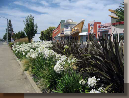 Phormium and Agapanthus in Rancho Cordova