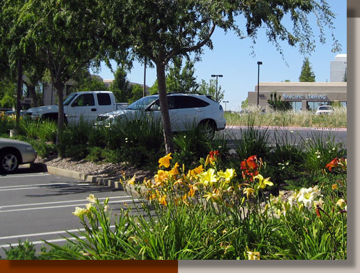Renovated Roseville Landscaping with Hemerocallis Hybrids