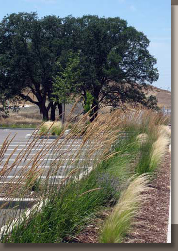 Calamagrostis and Nassella Planted in Folsom, California