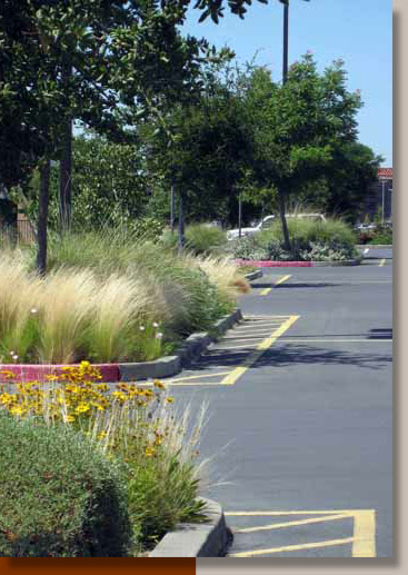 Ornamental Grasses in a Folsom Parking Lot
